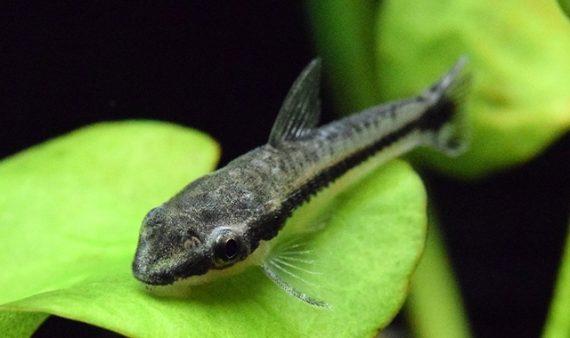 pez come algas