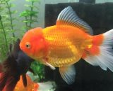 goldfish, oranda, cabeza de león