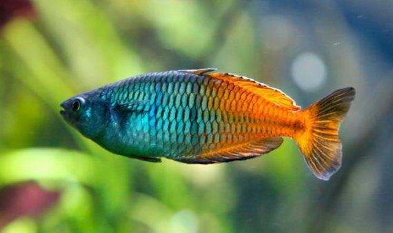 melanotaenia bicolor, pez arcoíris
