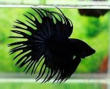 betta, crowntail, CT, full black