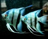 pez angel azul, pez escalar blue diamond