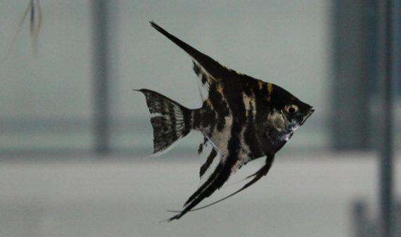 pez angel